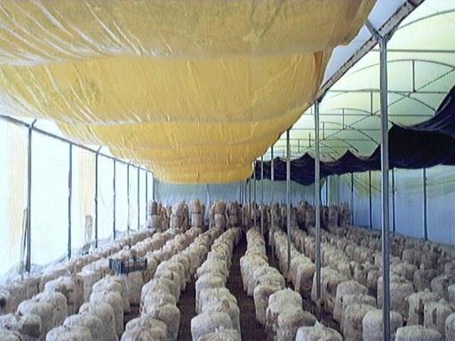 cultivo setas invernadero
